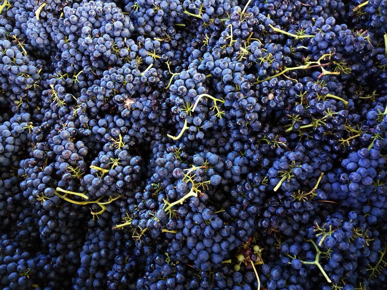 shiraz wine grape