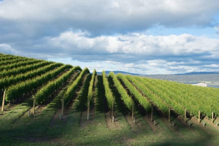 Wine grapes growing in Tasmania