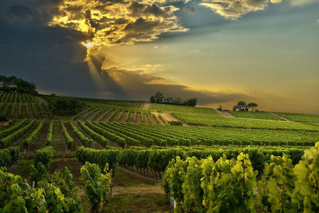 vineyards of the South of France