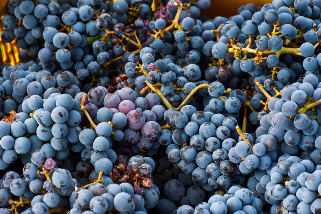 Sangiovese's harvest in Montepulciano Tuscany Italy